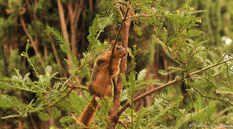 A female Fox Squirrel using the top of my redwood tree as a look-out post.