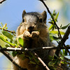 A Fox  Squirrel eating fresh Spring vegetation