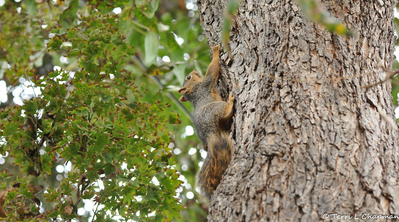 The healed female Fox Squirrel selected my 75 year old Pecan tree to climb up and rest after I picked her up from the California Wildlife Center, which is about an hour drive away. <br /> <br /> Around 11:00 pm on October 8, 2016 I rescued this juvenile female Fox Squirrel from the grip of two raccoons. The squirrel was injured and I was able to place her in a cat carrier overnight until I could transport her to the California Wildlife Center (CWC) the following morning. The squirrel had brain trauma, and was temporarily blind from its brain swelling, so the prognosis was guarded. But, I remained hopeful that the squirrel could heal with the constant care of the medical staff at CWC. Well, I got a phone call on November 11th that the young squirrel had made a full recovery and I picked her up and released her back into my yard!