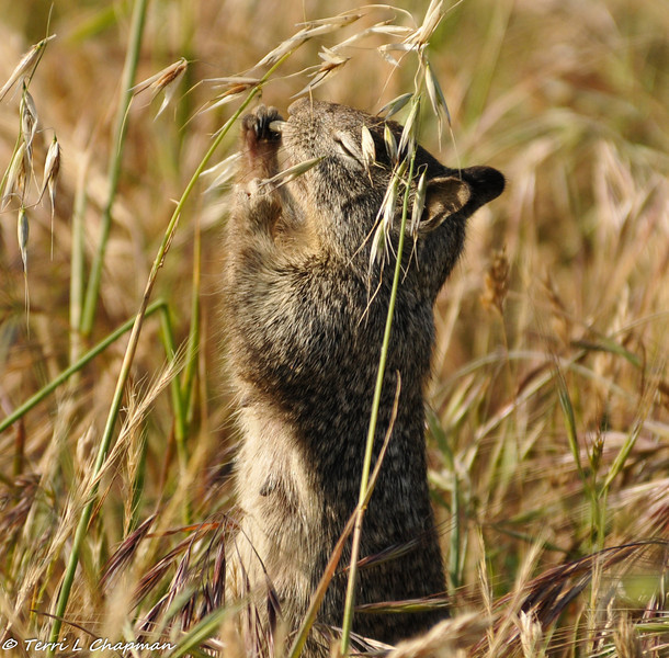 A Beechy Ground Squirrel enjoying the weeds