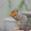 A female Fox Squirrel eating a Tangerine from my tree.