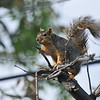 A female Fox Squirrel