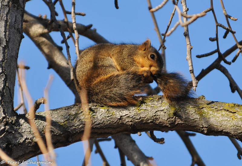 A Fox Squirrel grooming his tail