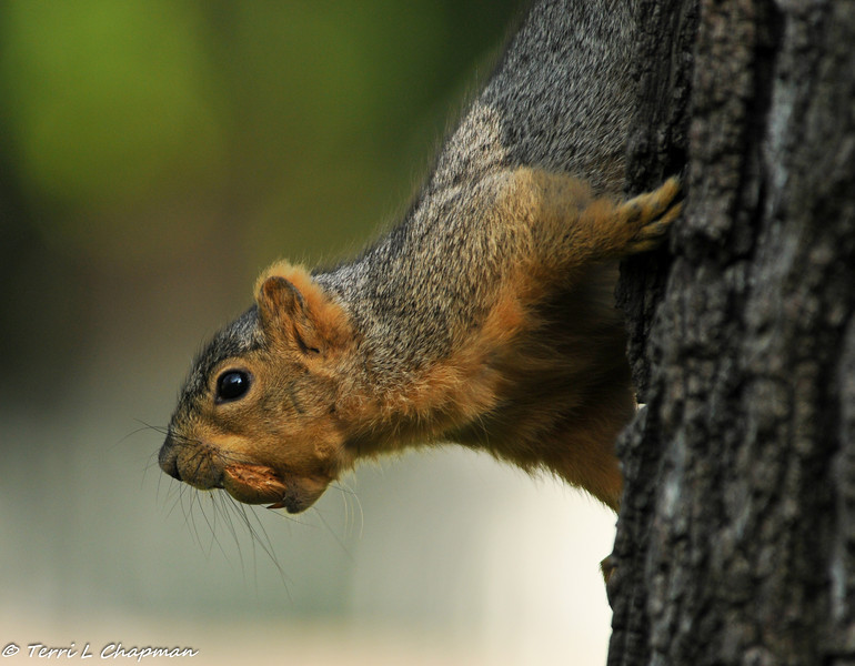A Fox Squirrel with a prized almond