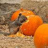 A Ground Squirrel eating pumpkin seeds  from an Autumn display at Descanso Gardens