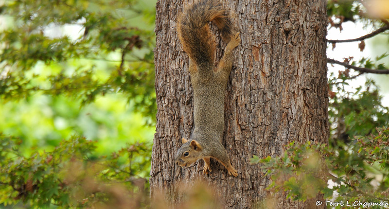 A female Fox Squirrel hanging from my Pecan Tree