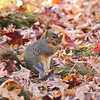 A female Fox Squirrel eating seeds among fallen Sweet Gum leaves