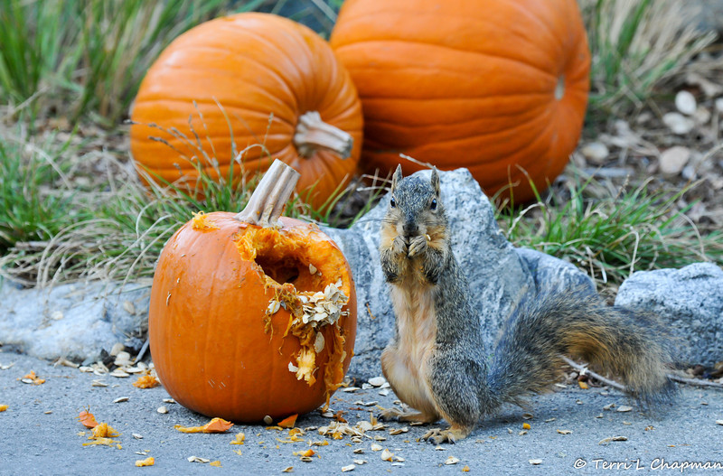 A Fox Squirrel eating pumpkin seeds from a pumpkin that was part of a Halloween display at Descanso Gardens