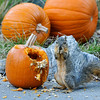A Fox Squirrel eating pumpkin seeds from a pumpkin that was part of a Halloween display at Descanso Gardens
