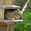 A baby Fox Squirrel using the munch box in my backyard as a napping spot