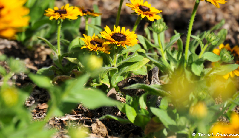 Can you find the baby Ground Squirrel among the flowers?