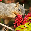 A Fox Squirrel eating the flowers of a Tree Fushia