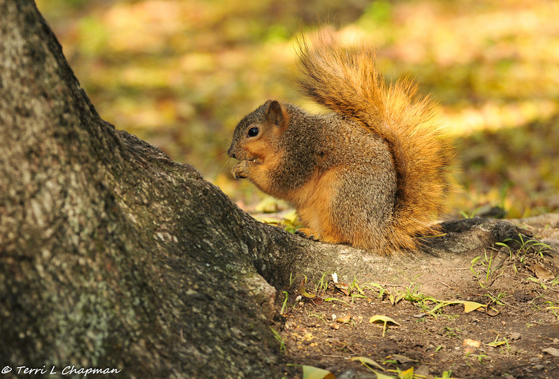 A beautiful winter coat on this Fox Squirrel