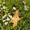 A Fox Squirrel amongst the cosmos flowers
