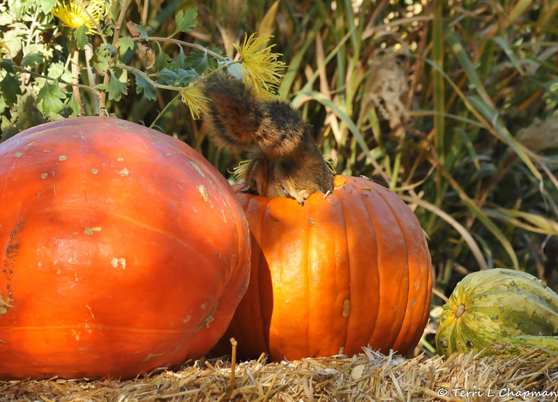 A Fox Squirrel enjoying the pumpkin seeds from the Autumn display at Descanso Gardens