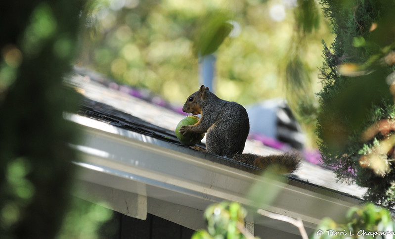 A Fox Squirrel, on my neighbor's roof, snacking on an unripe persimmon fruit from their garden