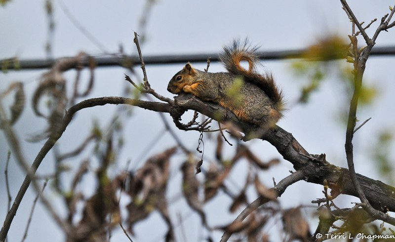 On a gloomy day, this Fox Squirrel was resting on a limb from my Pecan tree.