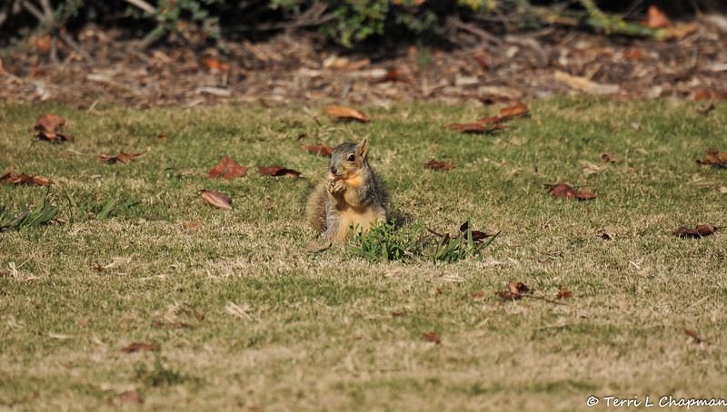 A juvenile Fox Squirrel snacking on something it found buried in the lawn