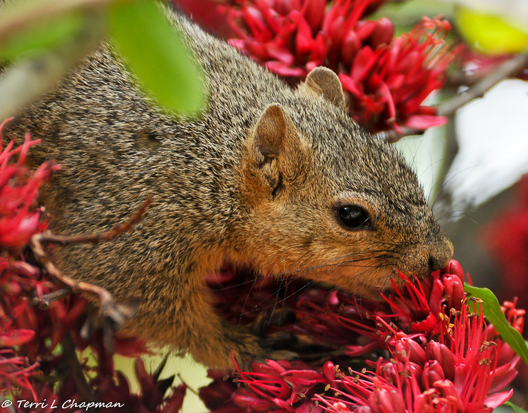 A Fox Squirrel eating the flowers of a Tree Fushia
