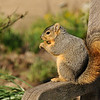 A Fox Squirrel using a bench to rest and eat a treat
