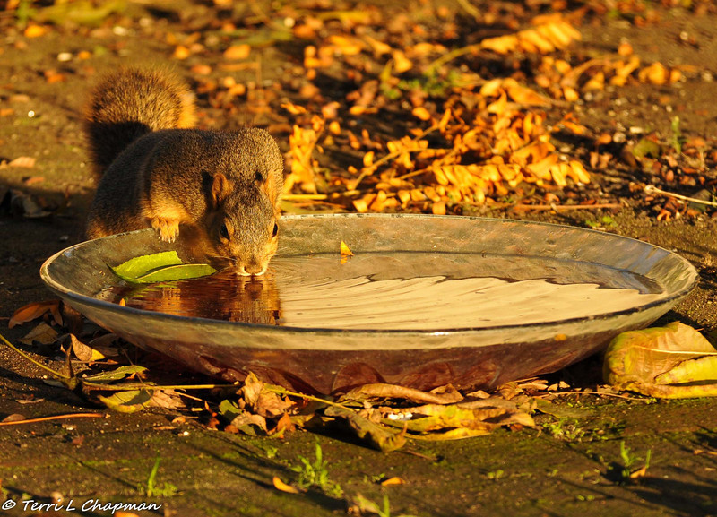 I have a bowl of water in my backyard just for the squirrels and this Fox Squirrel was having a drink before the sun went down.