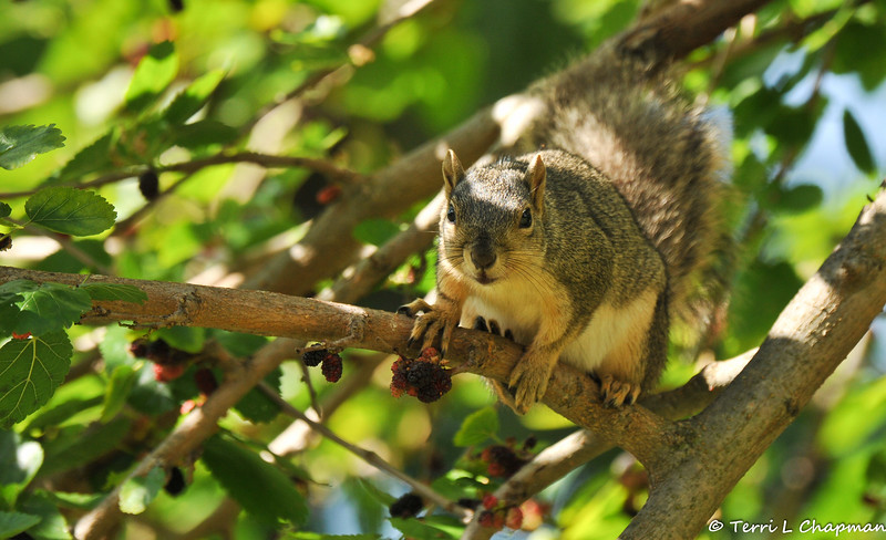 A female Fox Squirrel looking at me from a Mulberry tree