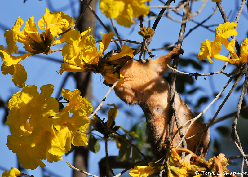 A female Fox Squirrel eating Golden Trumpet Tree blooms