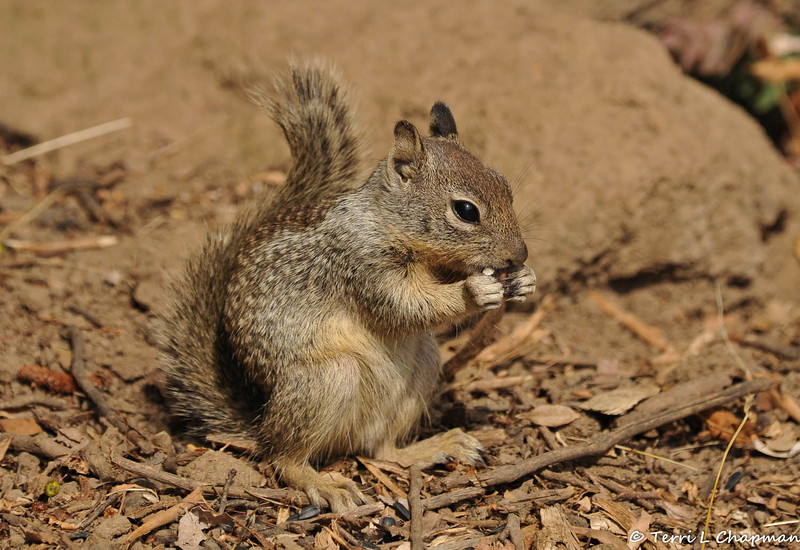 A baby Ground Squirrel eating