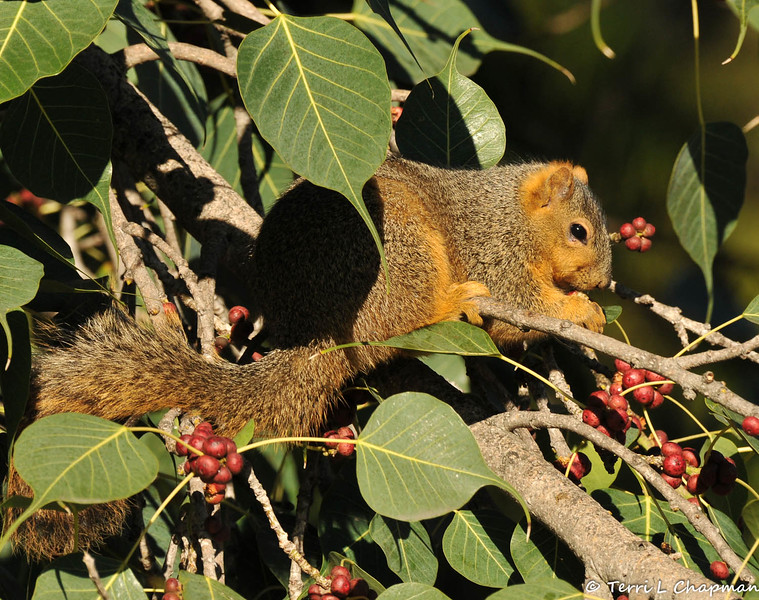 A Fox Squirrel eating fruit from a Ficus religiosa Bo tree