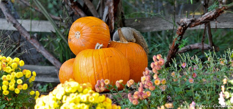 A female Fox Squirrel diving into a pumpkin that was part of an Autumn display at Descanso Gardens.