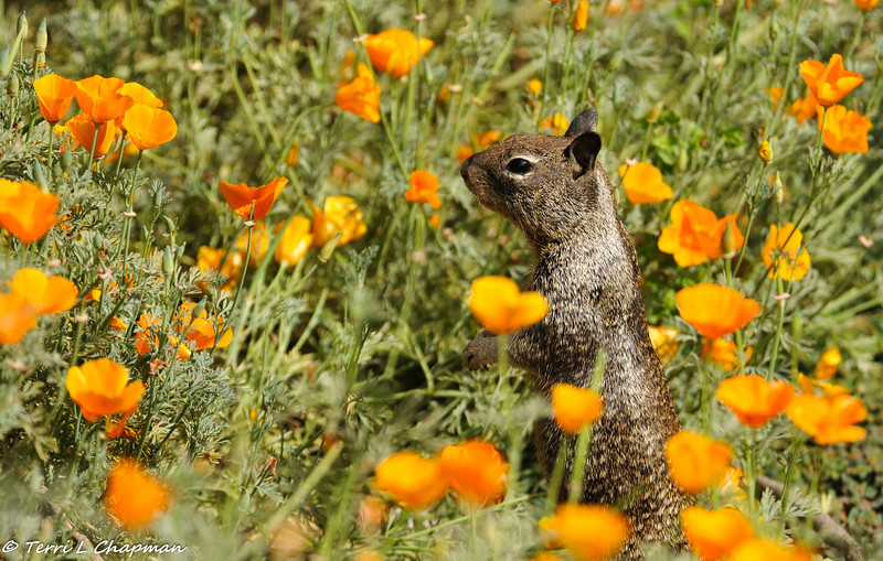 A Ground Squirrel amongst a field of California Poppies