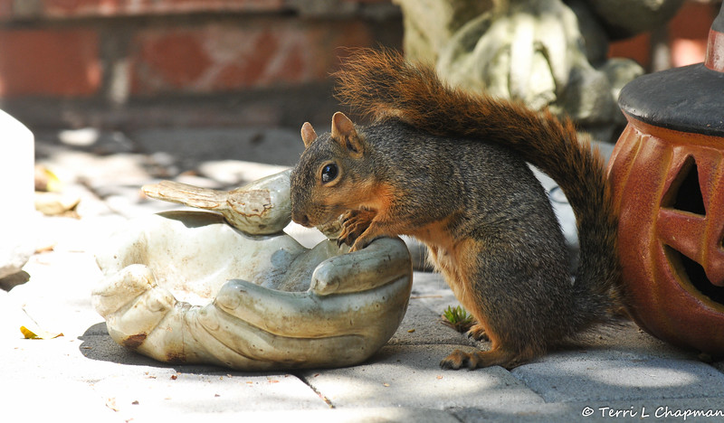 This female Fox Squirrel has some neurological issues from a possible fall from a tree. But, she gets around just fine and comes to my back patio each morning looking for nuts in the little bird feeder dish .