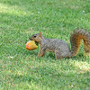 A Fox Squirrel carrying a piece of fruit that had fallen from a tree. The squirrel actually tried to bury the fruit in the grass instead of eating it!