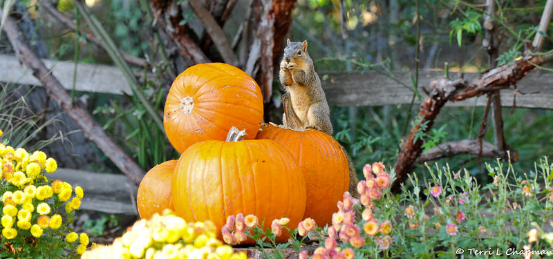 A female Fox Squirrel eating pumpkin seeds from an Autumn display at Descanso Gardens.