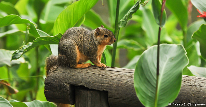 A Fox Squirrel resting on a fence post