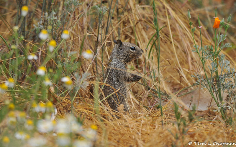 A baby Ground Squirrel in a field of wildflowers