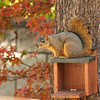 A female Fox Squirrel resting on the munch box in my backyard and surrounded by the Fall colored leaves of my Japanese Maple tree.