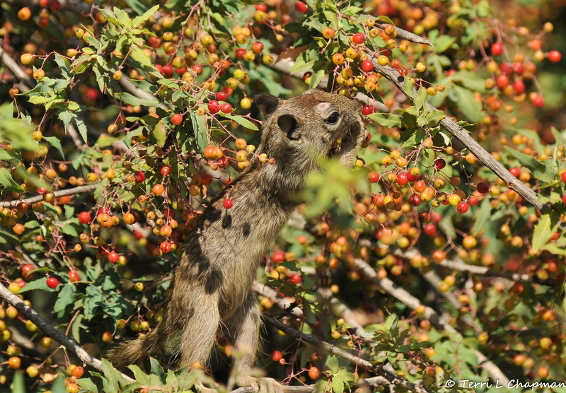 A baby Ground Squirrel pulling a berry from a Nevin's Barberry bush