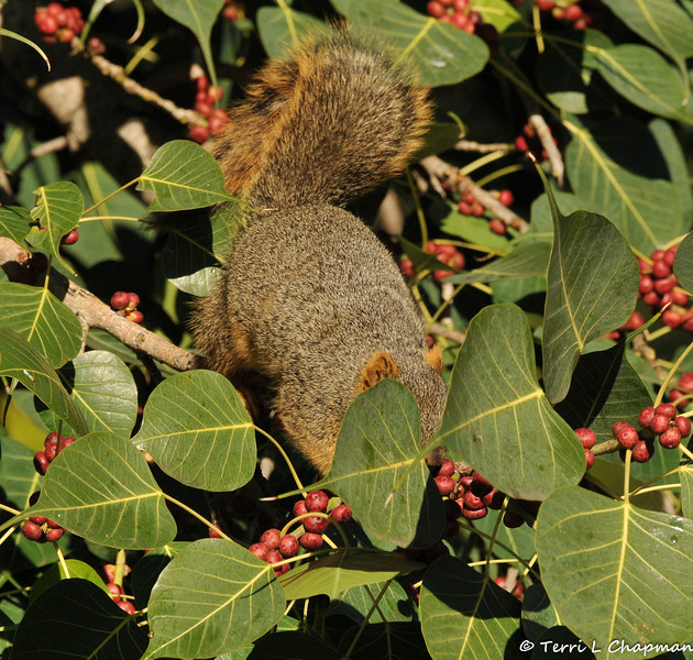 A Fox Squirrel picking fruit from a Ficus religiosa Bo tree