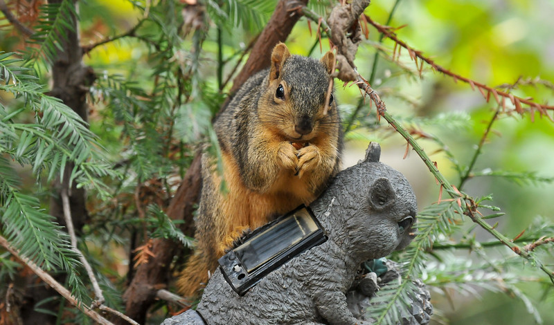 A male Fox Squirrel, sitting on the back of my squirrel solar statue, to eat the walnut I had given to him!