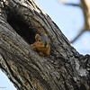 This Fox Squirrel found a nice home in the hollow portion of this tree.