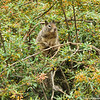 A Ground Squirrel using a Nevin's Barberry bush as a lookout tower