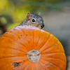 A female Fox Squirrel peeking out from a pumpkin that was part of an Autumn display at Descanso Gardens.