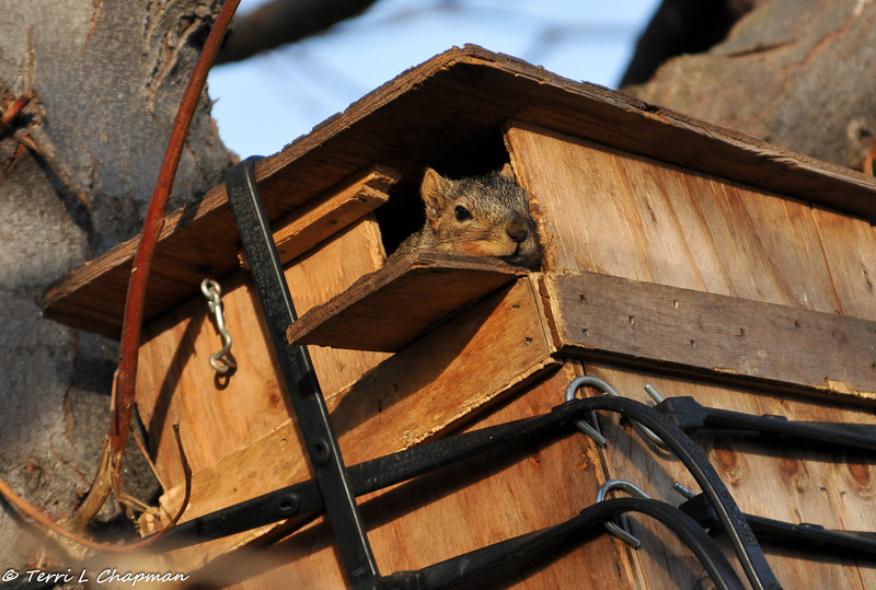 This is the little Fox Squirrel who was hand raised by the wildlife rehabilitator and released back into my yard. This is his nest box and he was laying at the door sunning himself. Although he was hand raised, he stays away from people. As long as he is well, that is all that matters.