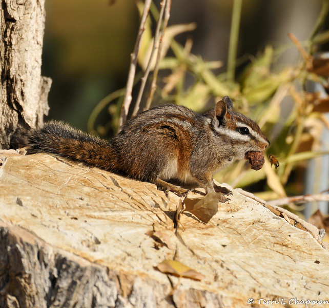 A Chipmunk with a snack and a Honey Bee nearby