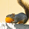 A baby Fox Squirrel enjoying an orange in my backyard
