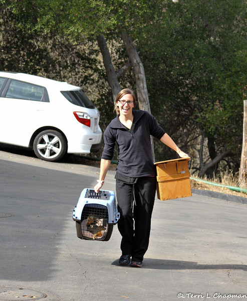 This is one happy California Wildlife Center staff member delivering to me a healthy female Fox Squirrel! Hooray! You see, around 11:00 pm on October 8, 2016 I rescued this juvenile female Fox Squirrel from the grip of two raccoons. The squirrel was injured and I was able to place her in a cat carrier overnight until I could transport her to the California Wildlife Center (CWC) the following morning. The squirrel had brain trauma, and was temporarily blind from its brain swelling, so the prognosis was guarded. But, I remained hopeful that the squirrel could heal with the constant care of the medical staff at CWC. Well, I got a phone call on November 11th that the young squirrel had made a full recovery and I picked her up and released her back into my yard!