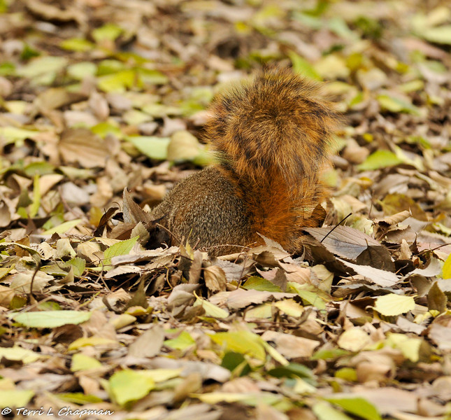 A Fox Squirrel searching for food in the leaf debris