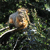 A Fox Squirrel eating berries off a bush.