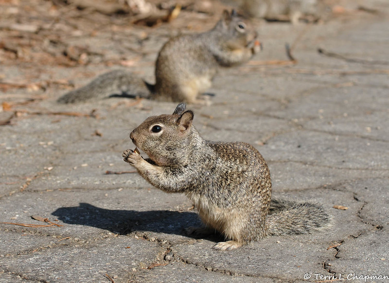 Ground Squirrels eating nuts